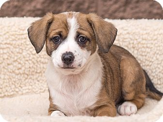 Jack Russell Terrier/Terrier (Unknown Type, Small) Mix Puppy for adoption in Chandler, Arizona - Otto
