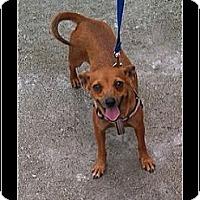 Adopt A Pet :: Roo - hollywood, FL
