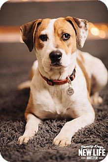 Foxhound Mix Dog for adoption in Portland, Oregon - Lady