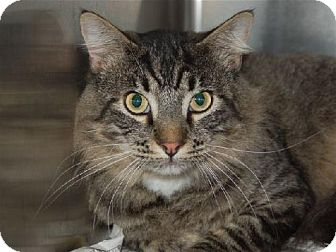 Maine Coon Cat for adoption in Oakland, California - Charlie & Harry-URGENT