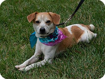 Beagle/Chihuahua Mix Dog for adoption in Farmington, Michigan - Sunshine: Loves Kids!