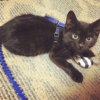 Domestic Shorthair Kitten for adoption in Lake Charles, Louisiana - Willie