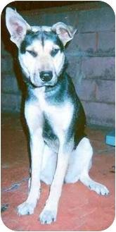 German Shepherd Dog/Siberian Husky Mix Dog for adoption in Rolling Hills Estates, California - Beauty