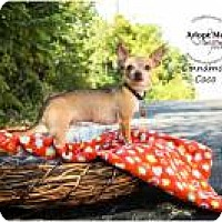 Adopt A Pet :: Cinnamon Coco - Shawnee Mission, KS