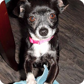 Chihuahua Mix Dog for adoption in Barriere, British Columbia - Priscilla - ADOPTION PENDING