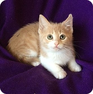 Domestic Shorthair Kitten for adoption in Tampa, Florida - Taylor