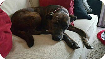 Catahoula Leopard Dog Mix Dog for adoption in Fairview Heights, Illinois - Brenda