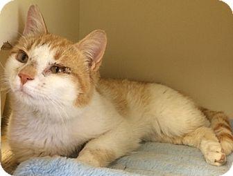 Domestic Shorthair Cat for adoption in Creston, British Columbia - Zach