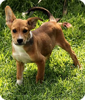 Jack Russell Terrier/Corgi Mix Puppy for adoption in Hagerstown, Maryland - Lane