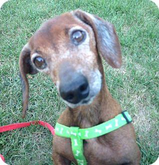 Dachshund Dog for adoption in Cumberland, Maryland - Holster