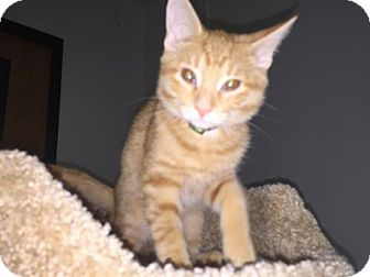 Domestic Shorthair Kitten for adoption in Livonia, Michigan - C17 Litter-OJ-ADOPTED