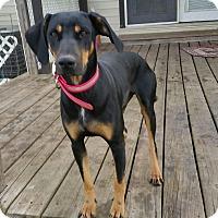 Adopt A Pet :: Vivien - Dallas, TX