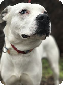 Husky/Pit Bull Terrier Mix Dog for adoption in Newburgh, Indiana - Lady