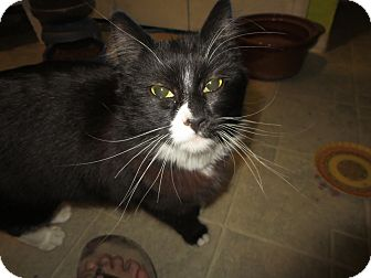 Domestic Longhair Cat for adoption in Coos Bay, Oregon - Grumbles