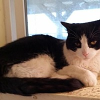 Domestic Mediumhair Cat for adoption in Lemoore, California - Yoko