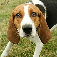 Treeing Walker Coonhound Dog for adoption in Troy, Illinois - Lady Fostered (Michelle S)