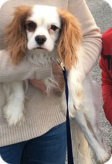 King Charles Spaniel/English Toy Spaniel Mix Dog for adoption in Albemarle, North Carolina - Finn