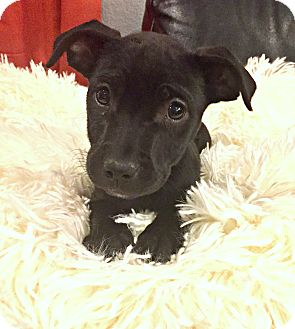 Pointer/Great Dane Mix Puppy for adoption in Boulder, Colorado - Lilly