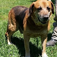 Shepherd (Unknown Type)/Hound (Unknown Type) Mix Dog for adoption in Huntington, New York - Andrew - N