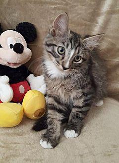 Domestic Shorthair Kitten for adoption in Glendale, Arizona - Sprinkles
