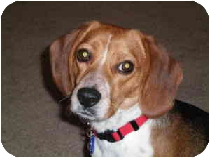 Beagle Mix Dog for adoption in Phoenix, Arizona - Bella B