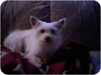 Maltese/Yorkie, Yorkshire Terrier Mix Puppy for adoption in Cincinnati, Ohio - Mr Bo