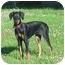 Photo 1 - Doberman Pinscher Puppy for adoption in Austin, Minnesota - Pandora
