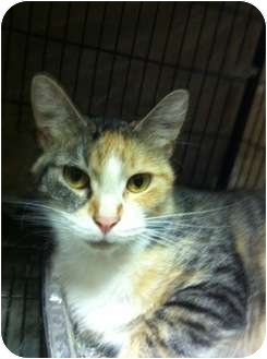 Domestic Shorthair Cat for adoption in Baton Rouge, Louisiana - Natalie