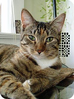 Domestic Shorthair Cat for adoption in Beaufort, South Carolina - Stella