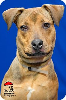 Shepherd (Unknown Type) Mix Dog for adoption in Long Beach, New York - Honey