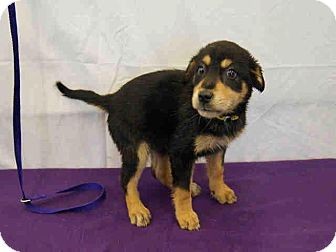 Rottweiler Mix Puppy for adoption in Largo, Florida - Iris