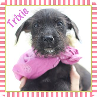Fox Terrier (Smooth) Mix Puppy for adoption in Corpus Christi, Texas - Trixie