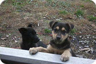 Shepherd (Unknown Type)/Labrador Retriever Mix Puppy for adoption in Morgantown, West Virginia - Firgie
