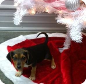 Beagle Mix Dog for adoption in Princeton, Kentucky - Gabe