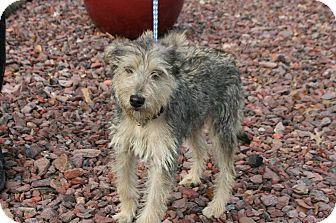 Cairn Terrier/Yorkie, Yorkshire Terrier Mix Dog for adoption in Goldens Bridge, New York - Vivienne