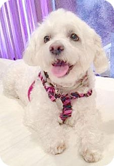 Maltese/Poodle (Miniature) Mix Dog for adoption in Livonia, Michigan - Mindy