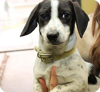 Dachshund Mix Puppy for adoption in Philadelphia, Pennsylvania - Mike