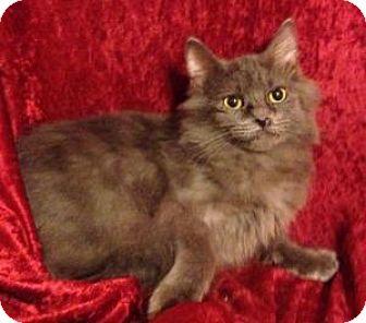 Domestic Longhair Kitten for adoption in Hillside, Illinois - Blanche