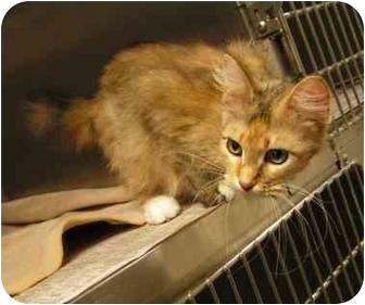 Domestic Mediumhair Cat for adoption in Marseilles, Illinois - Mandy