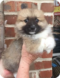Shih Tzu Mix Puppy for adoption in Mount Pleasant, South Carolina - Hugo