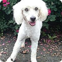 Adopt A Pet :: Lacy - Sugarland, TX