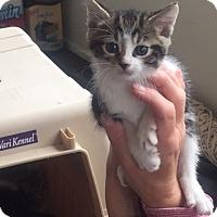 Adopt A Pet :: Godiva - Piscataway, NJ