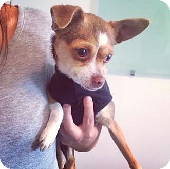 Chihuahua Mix Dog for adoption in Manhattan, New York - Emmie