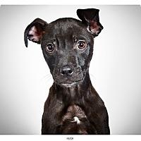 Adopt A Pet :: Hugh - New York, NY