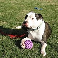 American Bulldog Mix Dog for adoption in Austin, Texas - Vicente