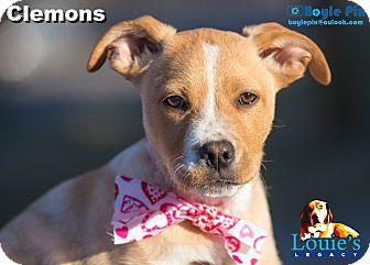 Boxer/Labrador Retriever Mix Puppy for adoption in Cincinnati, Ohio - Clemons
