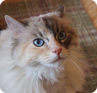 Siamese Cat for adoption in Buhl, Idaho - JuJu (Juliette)