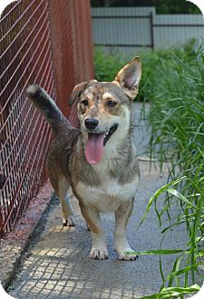 Corgi Mix Dog for adoption in Morristown, New Jersey - Bubba