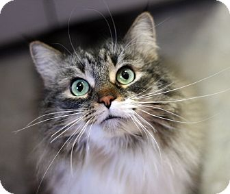 Domestic Longhair Cat for adoption in Royal Oak, Michigan - MR. PRECIOUS