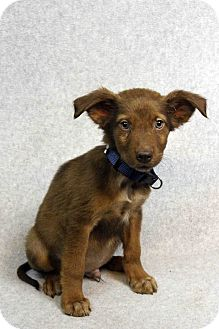 Retriever (Unknown Type) Mix Puppy for adoption in Westminster, Colorado - EDWIN